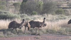 an afternoon tracking shot of an emu flock foraging for food in western nsw, australia