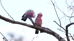 a slow motion clip of two galahs perched in a tree at redbank waterhole near alice springs in the northern territory of australia