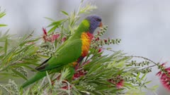 a high frame rate clip of a rainbow lorikeet perched on red bottlebrush calling at the central coast of nsw, australia