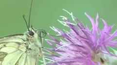 Black-Veined White Butterfly Feeding On A Flower, Showing Proboscis