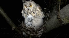 Long Eared Owl, female parent in the nest with four chicks, the male lands with a mouse as prey