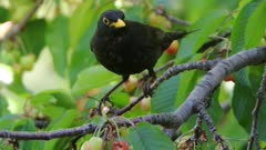 male of blackbird on a cherry tree, eats a cherry