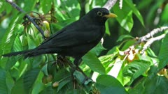 male of blacbird on a cherry tree eating cherries