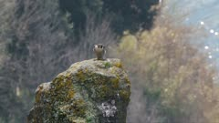 Peregrine falcon, adult female vocalizes (no audio) and takes off from a volcanic rocky roost