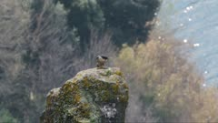 Peregrine falcon, adult female takes off from a volcanic rocky roost, slow motion 50%