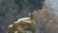Peregrine falcon, adult female on volcanic rocky roost