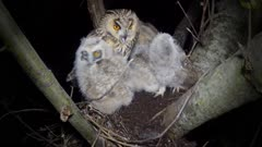 Long Eared Owl, four chicks in the nest at night, female parent vocalizes