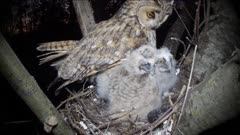 Long Eared Owl, a chick regurgitates indigest pellet, the female parent inthe nest too