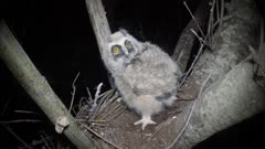 Long Eared Owl, a chick in the nest, becoming two