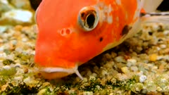 Koi carp feeding activity in aquarium ground, slow motion 50%