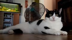 Female cat laying down by a fan for cooling