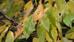 Autumn leaves, cherry tree in light wind