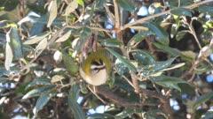 Common Firecrest feeding between holly oak leaves