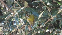 Common Firecrest feeding between holly oak leaves