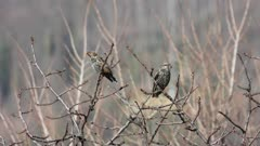 Starlings on winter roost