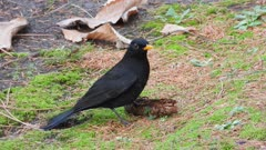Blackbird, male attempting insistently to break a pine cone, taking a run several times