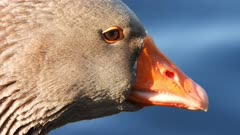 Toulouse goose, extreme close up of the head and beak
