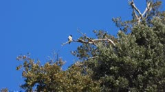 Peregrine falcon, adult preening on a tree roost