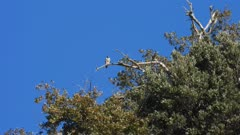 Peregrine falcon taking off from a tree roost