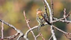 Goldfinch in winter, taking off