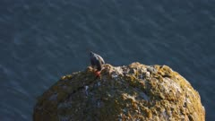 Peregrine falcon eating its prey on a volcanic rocky roost