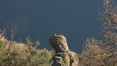 Peregrine falcon eating its prey on a volcanic rocky roost on the Castel Gandolfo lake, near the Pope summer residence