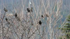 Starlings on roost, while hundreds flyng on the background
