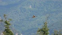 Eurasian kestrel, hovering in Holy Spirit hunting flight, slowmo 50%