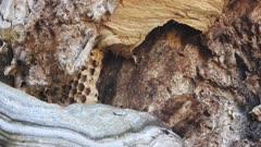European hornet honeycomb in a tree hole