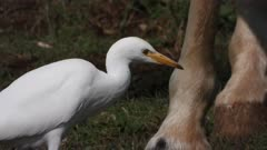 Cattle egret hunting insects between horses