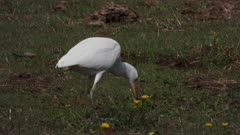 Cattle egret capturing an earthworm near horses