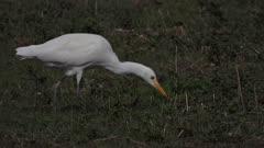 Cattle egret capturing an earthworm