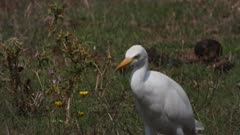 Cattle egret capturing an insect