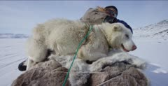 Dog Sledding In the Arctic tundra; Dog with injured foot riding on sled