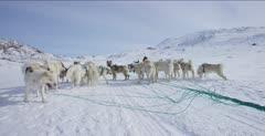 Dog Sledding In the Arctic tundra; Dogs waiting to mush