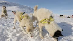 Sled Dogs barking and howling