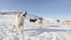 Sled Dogs barking and howling; one dog tries to play with the camera and cinematographer