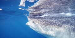 Whale Shark swims past camera while feeding at the ocean surface