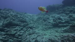 Fish, possibly a Crosshatch Triggerfish, swimming over a rocky reef