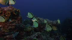 Group of fish, possibly Yellow-dotted Butterflyfish, swimming over a rocky reef