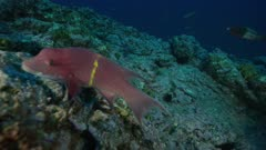 Fish, possibly a Mexican Hogfish, swimming over a rocky reef
