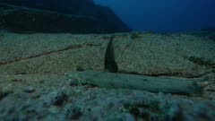 Flatfish, possibly a Pacific Leopard Flounder, camouflaged on a rock; raises fin
