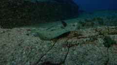Flatfish, possibly a Pacific Leopard Flounder, camouflaged on a rock, swims away