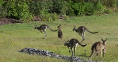 Eastern Grey Kangaroo mob hopping