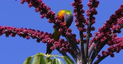 Rainbow Lorikeet feeding on flowers of Umbrella Tree