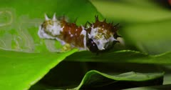 Moth Caterpillar feeding on leave
