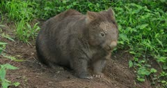 Wombat, common, near burrow, dusk hour