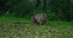 Wombat, common, scratches and enters bush, dusk hour