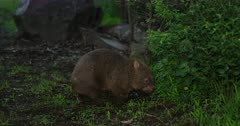 Wombat, common, enters bush, dusk hour