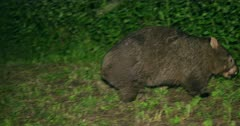 Wombat, common, feeding, dusk hour, early night